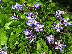 guaifenesin for fibromyalgia, guaiacum sanctum plant